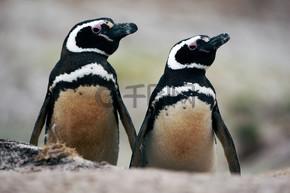 麦哲伦企鹅在地坑