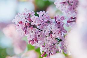 春天的时候, 美丽的气味是紫罗兰色的丁香花。丁香的特写花树枝。富有启发性的天然花卉春天盛开的花园或公园。五颜六色的生态学自然风景