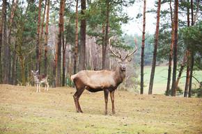强大的成年红鹿鹿自然环境秋季秋天