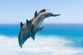 组的跳跃的海豚,蓝色的大海背景