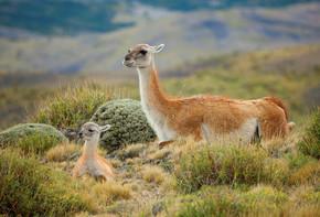 原驼家庭在托雷斯雷德裴恩国家公园、 智利、 南非