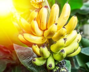 成熟串香蕉放在手心.