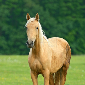 在绿色草地上的马