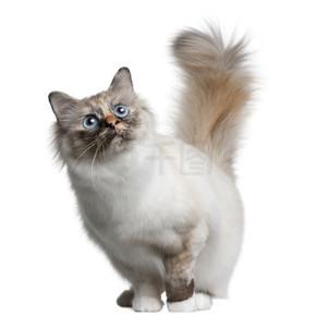 11 个月大,站在白色背景前 birman 猫