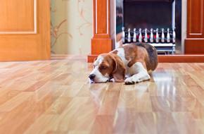 地板上的狗