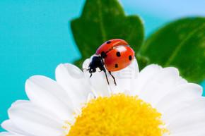 关于白花瓢虫.