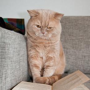 英国短毛猫看着这本书坐在沙发上.