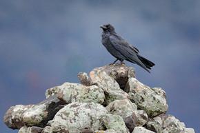 黑乌鸦坐在石头上。麋鹿石与黑鸟。黑鸟在自然栖所。乌鸦在岩石上。大自然的野生动物场景。鸟与大比尔。森林鸟在秋天.