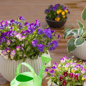 在花盆中的花园,美丽三色堇夏天花浇水