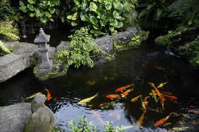 池塘中的锦鲤鱼