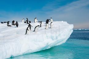 阿德利企鹅从冰山跳
