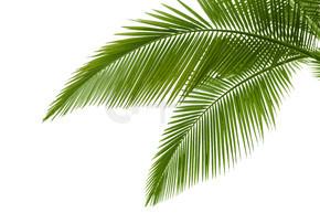 棕榈的叶子