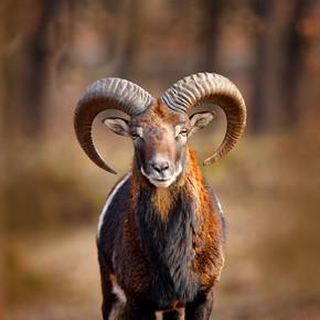 穆夫隆,奥维斯东方,大角哺乳动物的肖像,布拉格,捷克共和国。野生动物场景形成自然。森林中的动物行为。穆夫隆与大角在头上,在森林里.