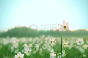 美丽的水仙花