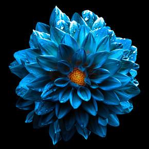 孤立在黑色的超现实湿暗铬海蓝色的花大丽花宏