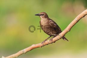 年轻椋鸟坐在树枝上