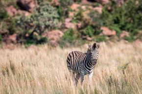 斑马站在高高的草地上.