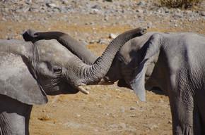 一些玩树干的大象