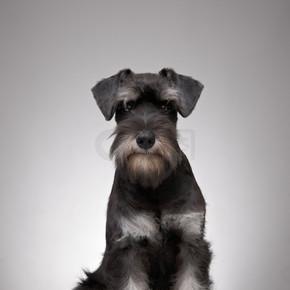 五个月大的迷你雪纳瑞小狗