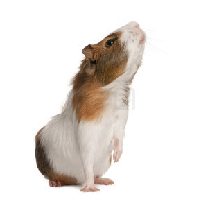 豚鼠,豚鼠 porcellus,在白色背景前嗅