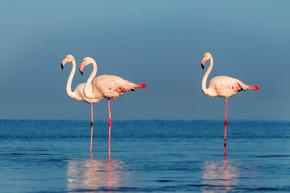 野生非洲鸟。 在阳光灿烂的日子里,成群的粉红非洲火烈鸟在蓝色的泻湖上漫步