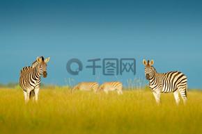 蓝色风暴天空斑马。波切尔的斑马, 斑驴 burchellii, 纳赛泛国家公园, 博茨瓦纳, 非洲。野生动物在绿色草地上。野生动物自然.