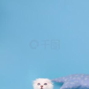 苏格兰品种的白色折叠式小猫坐着向上看,摄影棚的摄影背景是蓝色的.
