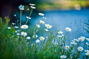 在蓝色背景上的白色雏菊