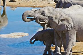 群在水坑饮水的大象