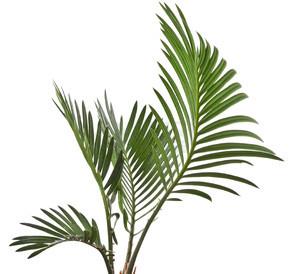 棕榈叶上白色隔离