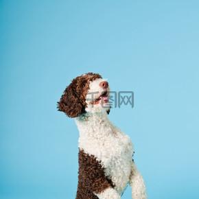孤立在浅蓝色背景上的白色棕色西班牙 waterdog。perro de agua 村.