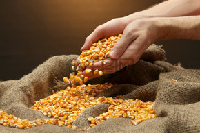 男子手与五谷、 棕色玉米背景上