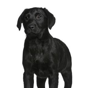 拉布拉多小狗,3 个月大,站在前面的白色背景