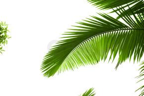 棕榈树的叶子