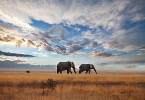 大象在萨凡纳