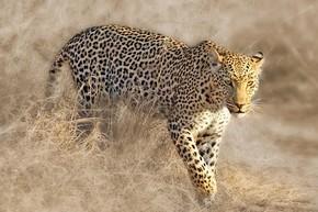 野生的非洲豹