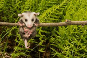 在野外的宝贝负鼠