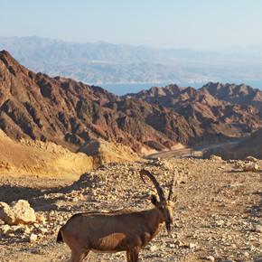 在石沙漠山山羊