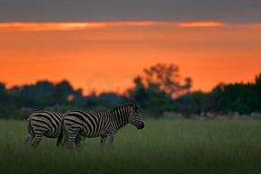 斑马与蓝色风暴天空。波比斑马, 马斑驴 burchellii, Nxai 泛国家公园, 博茨瓦纳, 非洲。在绿色草地上的野生动物。野生动物的性质在非洲狩猎。鸟在后面.