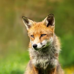 英国野雄红狐在夏天的华丽草地上坐着
