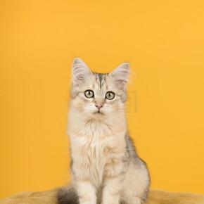 可爱的西伯利亚小猫坐在一个pouf看着相机
