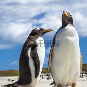 在福克兰群岛的两家企鹅。.