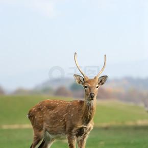 鹿在秋日的田野
