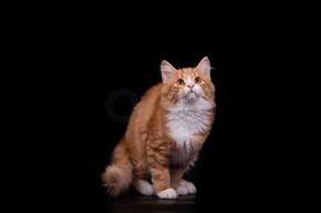在黑色背景上的小西伯利亚猫。
