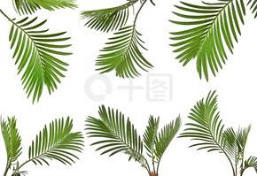 在白色背景上棕榈树的叶子