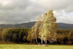 桦树上刮风的日子