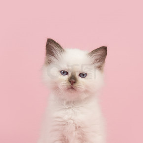 可爱的 6 周龄破布娃娃宝贝猫和蓝色的眼睛看着坐在粉红色的背景上的相机