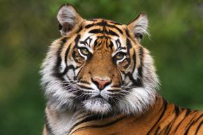 详细的孟加尔老虎肖像