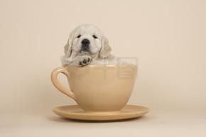 可爱的金毛猎犬小狗躺在一个杯子和茶托上的一个沙色的背景看着相机
