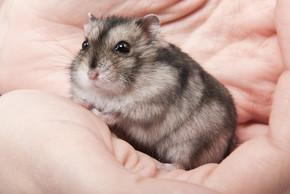 在女人手上的小侏儒仓鼠。